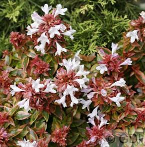 Abelia Francis Mason 30-40cm - Abelia grandiflora