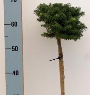 Hochstamm Zwerg Koreatanne Cis 40-60cm - Abies koreana
