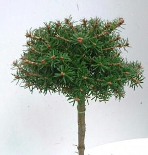 Hochstamm Koreatanne Nadelkissen 40-60cm - Abies koreana