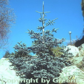 Blaue Edeltanne 20-25cm - Abies procera