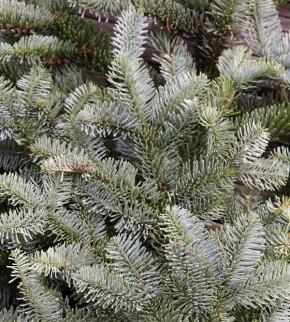 Silbertanne Wiesmoor Nixe 30-40cm - Abies procera