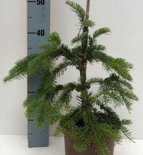 Japanische Hängetanne 80-100cm - Abies veitchii Pendula