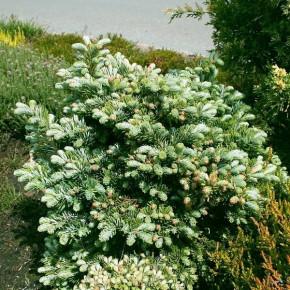 Zwerg Silbertanne Rumburk 25-30cm - Abies veitchii