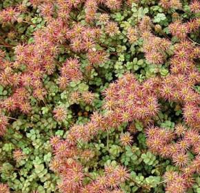 Stachelnüßchen - Acaena microphylla