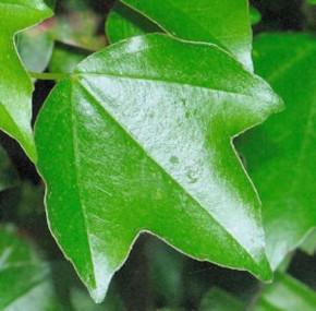 Burgenahorn 60-80cm - Acer buergerianum
