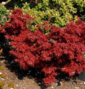 Fächerahorn Aratama 40-60cm - Acer buergerianum