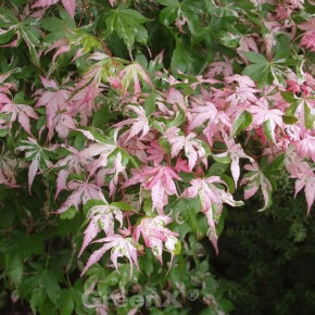 Fächer Ahorn Asahi-zuru 100-125cm - Acer palmatum Asahi-zuru