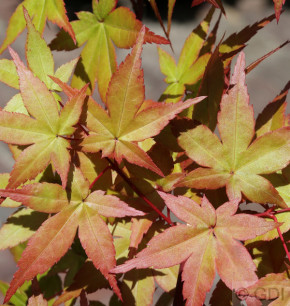 Fächerahorn Beni Tsukasa 40-60cm - Acer palmatum