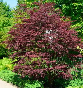 Fächerahorn Brands Dwarf 40-60cm - Acer palmatum