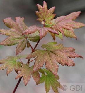 Fächer Ahorn Burgundy Lace 40-60cm - Acer palmatum
