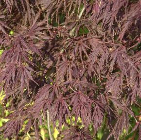 Fächerahorn Crimson Princess 100-125cm - Acer palmatum