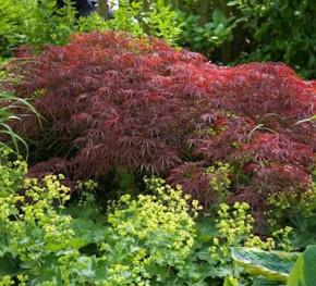 Fächer Ahorn Crimson Queen 40-60cm - Acer palmatum Crimson Queen
