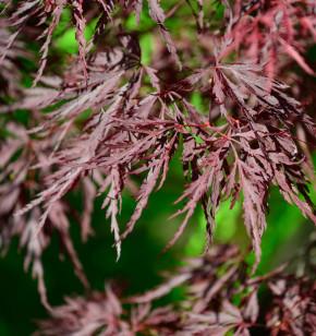 Dunkelroter Schlitzahorn Firecracker 80-100cm - Acer palmatum
