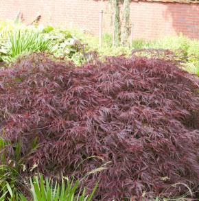 Dunkelroter Schlitz Ahorn Garnet 30-40cm - Acer palmatum
