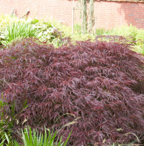 Dunkelroter Schlitz Ahorn Garnet 60-70cm - Acer palmatum