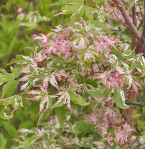 Buntblättriger Fächerahorn Oridono 40-60cm - Acer palmatum
