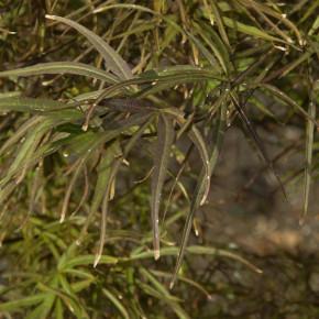 Fächer Ahorn Red Pygmy 60-80cm - Acer palmatum