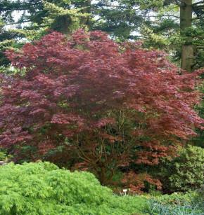 Japanischer Fächer Ahorn Rhode Island Red 40-60cm - Acer palmatum