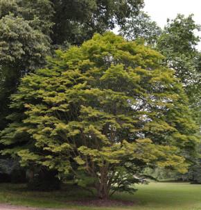 Fächer Ahorn 60-80cm - Acer palmatum