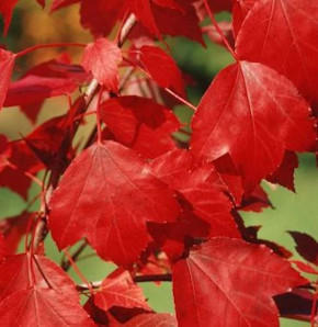 Ahorn Summer Red® 100-125cm - Acer rubrum