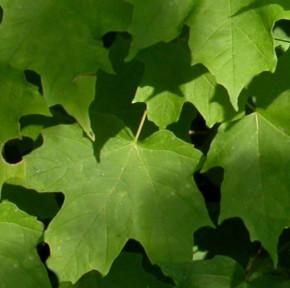 Echter Zuckerahorn 40-60cm - Acer saccarum