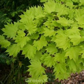 Hochstamm Japanischer Goldahorn 80-100cm - Acer shirasawanum Aureum