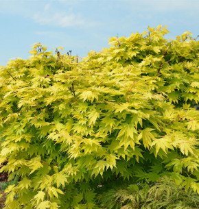 Hochstamm Japanischer Goldahorn Jordan 80-100cm - Acer shirasawanum Jordan