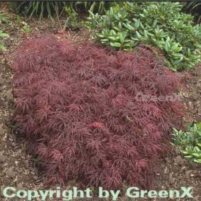 Dunkelroter Schlitz Ahorn Garnet 100-125cm - Acer palmatum