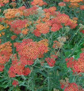 Schafgarbe Feuerland - Achillea millefolium
