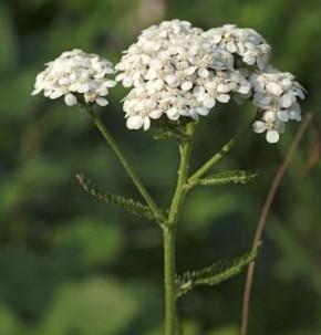 Weiße Schafgarbe - Achillea millefolium