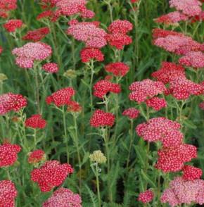 Rote Schafgarbe Belle Epoche - Achillea millefolium