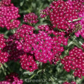 Schafgarbe Cassis - Achillea millefolium