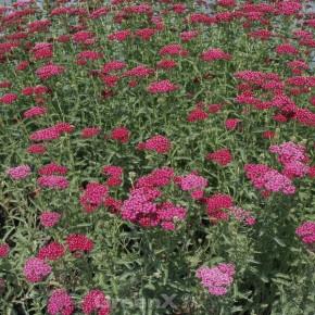 Schafgarbe Christel - Achillea millefolium