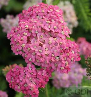 Schafgarbe Excel - Achillea millefolium