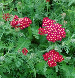 Schafgarbe Paprika - Achillea millefolium