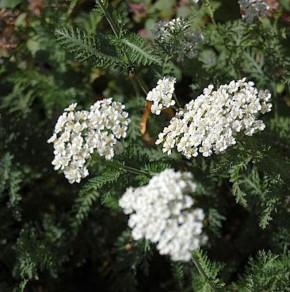 Schafgarbe Schneetaler - Achillea millefolium