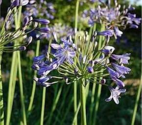 Liebesblume Schmucklilie Blue Triumphator - Agapanthus africanus