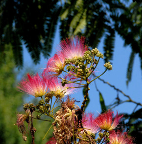 Seidenakazie Evis Pride - Schlafbaum 100-125cm - Albizia julibrissin