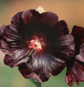 Stockrose Black Night - Alcea rosea