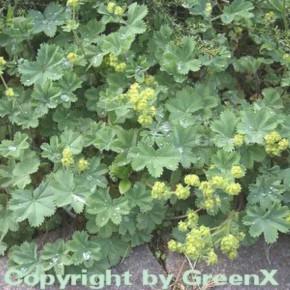 Frauenmantel gelb - Alchemilla erythropodea