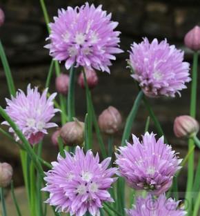 Berglauch - Allium senescens