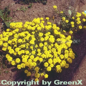 Bergsteinkraut Berggold - Alyssum montanum