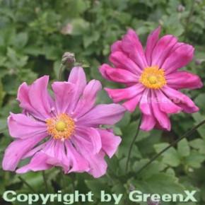 Herbstanemone Prinz Heinrich - Anemone japonica