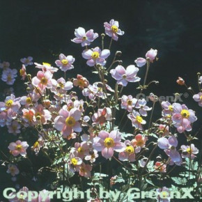 Japanische Herbstanemone Septembercharm - Anemone hupehensis
