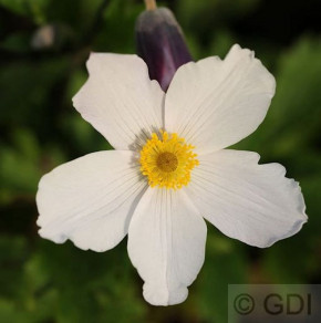 Japanische Herbstanemone Wild Swan - Anemone japonica