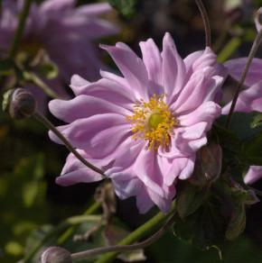 Herbstanemone Monte Rose - Anemone japonica