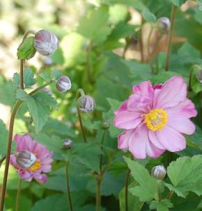 Herbstanemone Rotkäppchen - Anemone japonica