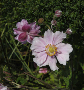 Albadura Anemone Septemberglanz - Anemone tomentosa