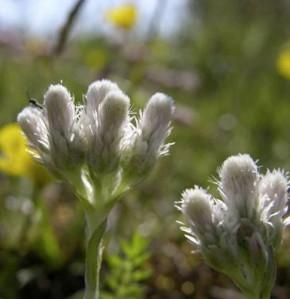 Katzenpfötchen - Antennaria dioica