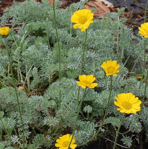 Hundskamille gelb - Anthemis marschalliana